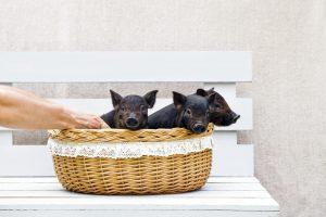 cerdos vietnamita