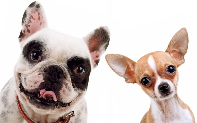 razas de perro pequeño